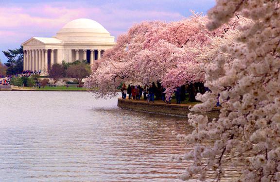cherry-blossom-1