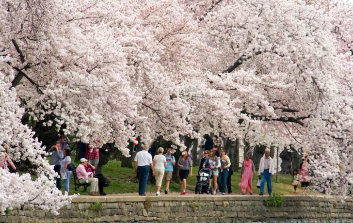 cherry-blossom-dc-1024x648